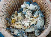stock photo of blue crab  - Raw blue crab in the orange basket - JPG
