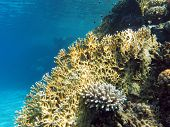 foto of fire coral  - coral reef at the bottom of tropical sea on blue water background - JPG