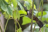 stock photo of throat  - A black throated laughingthrush in the forest of Thailand - JPG