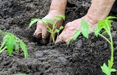 picture of tomato plant  - farmer planting a tomato seedling in the vegetable garden - JPG