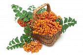 picture of mountain-ash  - red mountain ash in a wicker basket on a white background - JPG