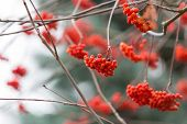 picture of rowan berry  - Red rowan berries on withered branch at autumnal cloudy weather - JPG