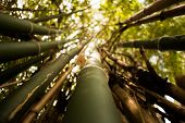 picture of bamboo forest  - Bamboo green forest summer natural sunlight background - JPG