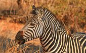 stock photo of pecker  - An isolated zebra head with golden sunlight in South Luangwa with a ox - JPG