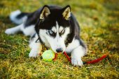 image of toy dogs  - Young Dog Husky Puppy Plays With Her Toy  - JPG