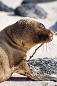 pic of sea lion  - Closeup portrait of baby pup sea lion sunbathing in a beach at the Galapagos Islands - JPG