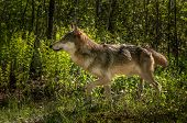 pic of lupus  - Grey Wolf  - JPG