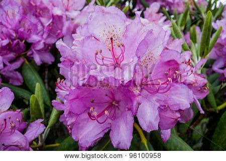 Catawba Rhododendron Close Up