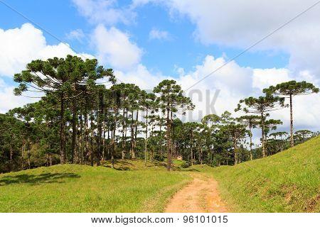 Araucaria Angustifolia ( Brazilian Pine) Forest, Brazil