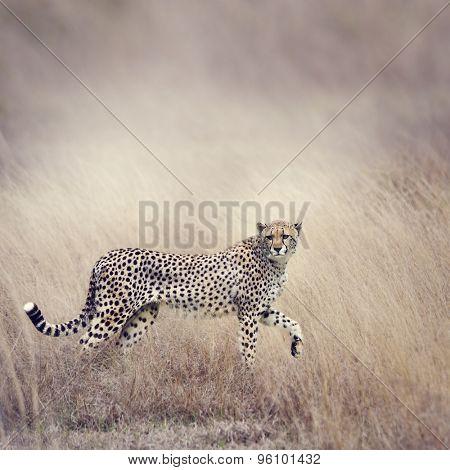 Cheetah Stalking Through The  Grassland