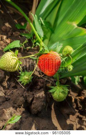 beautiful ripe strawberries in the garden