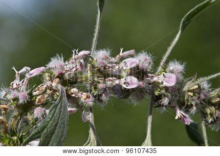 Herb Motherwort