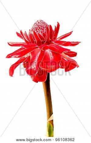 Etlingera Elatior Flowers