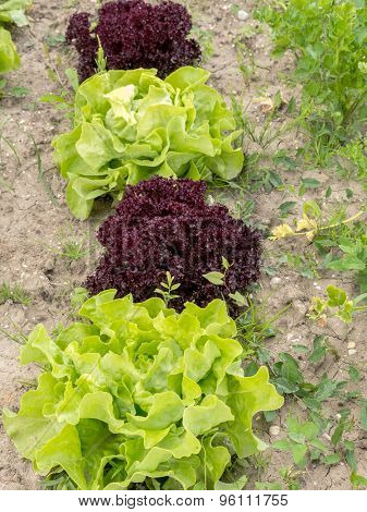 Row of green and red lettuce growing on garden patch