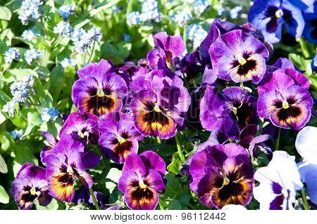 Viola Tricolor Flowers