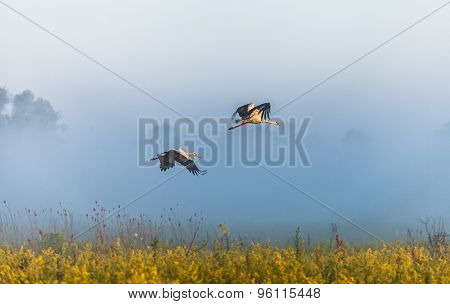 Two Storks Fly Over A Field