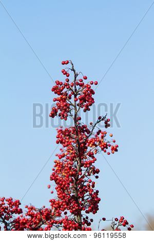 Branch of a red berries against blue sky.