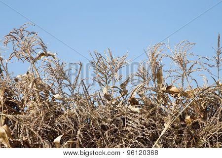 Corn stalks against blue sky.