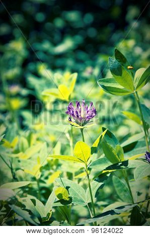 Blooming clover in the forest