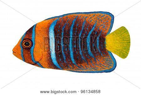 Passer Angelfish, Holacanthus Passer
