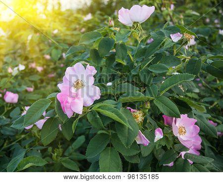 Flowers of  rosehip