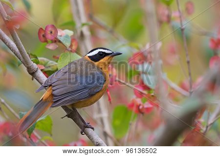 White-browed Robin-chat (cossypha Heuglini) Perched In A Flowering Bush