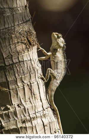 Oriental Garden Lizard In Pottuvil, Sri Lanka