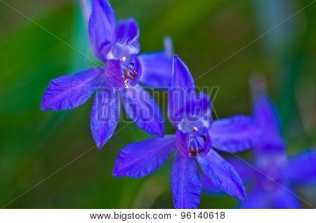 Delphinium Flowers Closeup