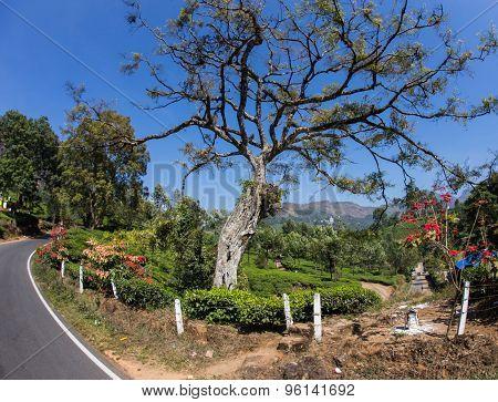 Tea plantation valley