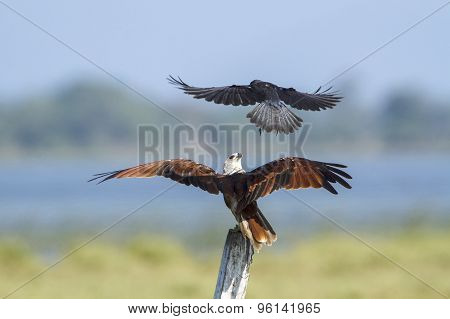 Brahminy Kite Attack By Crow In Pottuvil, Sri Lanka