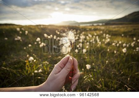Hand Holding A Cotton Grass