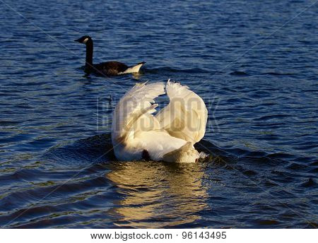 The Pursuit Of The Goose By The Angry Swan