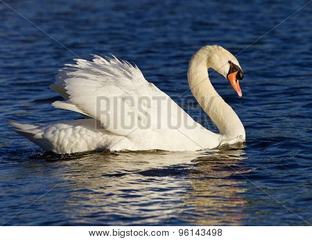 Very Beautiful Swan On The Sunny Evening