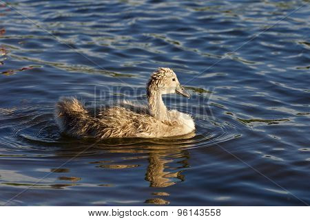 The Young Swan Is Swimming In The Lake