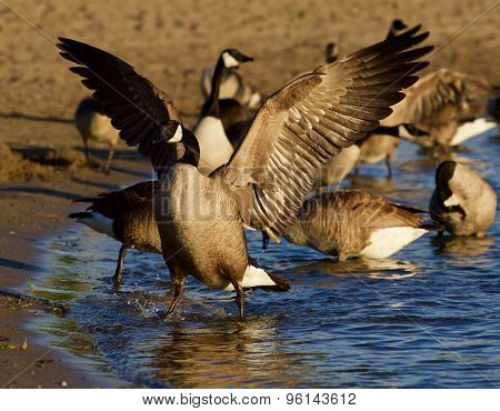 Beautiful Canada Goose Shows His Strong Wings