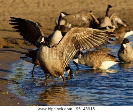 Beautiful Canada Goose Spreads His Strong Wings On The Beach