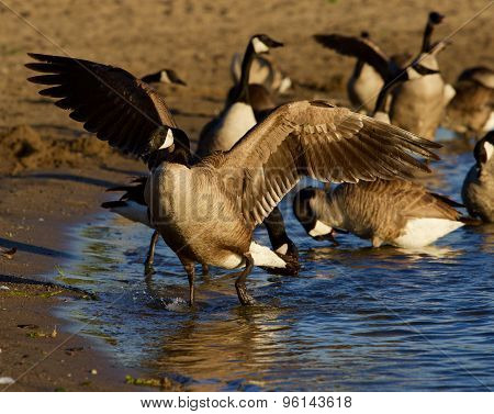 Canada Goose Shows His Beautiful Wings