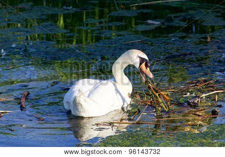 The Hard-working Mute Swan