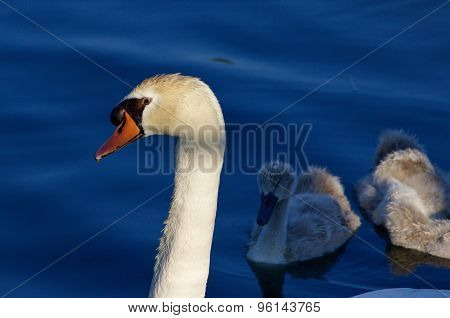 Beautiful Background With The Father-swan And His Children On The Sunny Evening