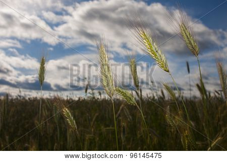ears of rye on field
