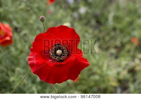 Detail of red poppy flower with shallow DOF