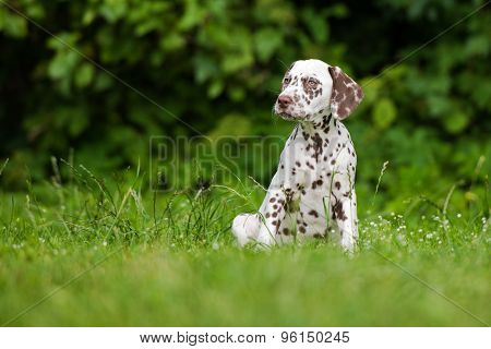 happy active dalmatian puppy outdoors in summer