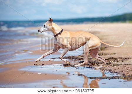 adorable whippet on the beach