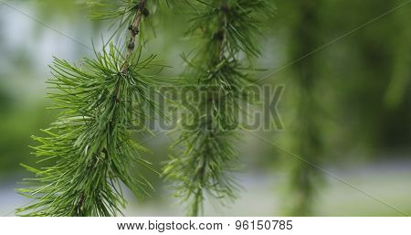 larch tree with cones in summer day