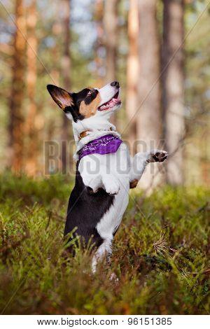 welsh corgi cardigan dog outdoors