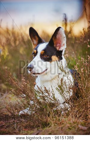 welsh corgi cardigan dog outdoors