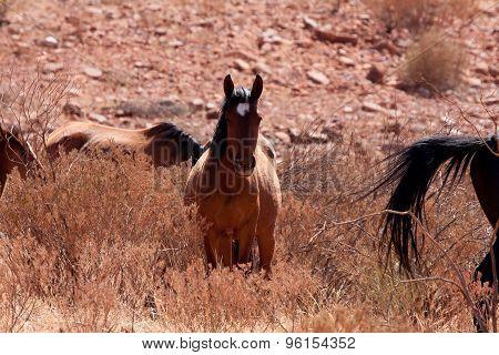 Wildpferde Im Outback