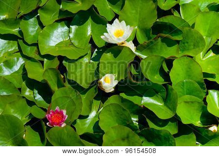 Floating water lily in a pond