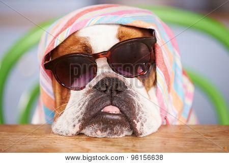 Sad Looking British Bulldog Wearing Sunglasses And Headscarf