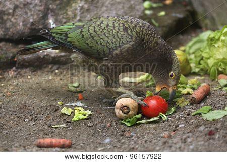 Kea (Nestor notabilis). Wildlife animal.